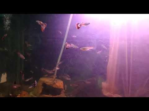 Guppy cobra(1)