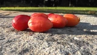 CIRUELAS CAFRES: Harpephyllum caffrum (www.riomoros.com)