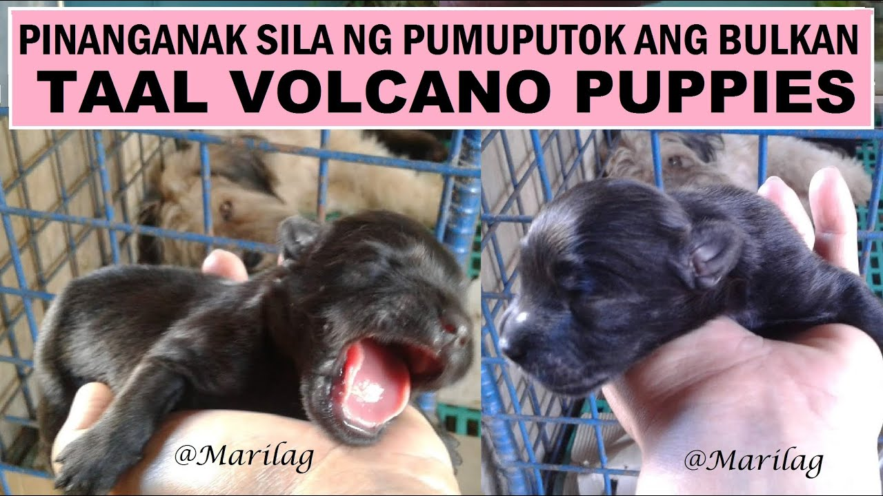 Dog Giving Birth To Four Cute Puppies While Taal  Volcano Is Erupting | Puppies Cross Over