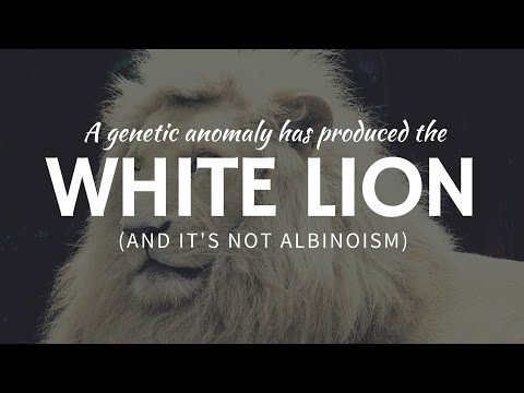 WHITE LION: real & rare example of genetic anomaly (leucism not albinoism)