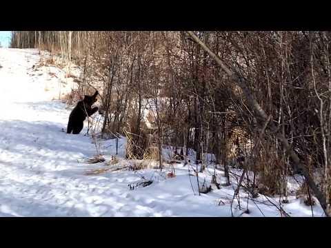 Dieser Bär schmeißt alleine eine Party - Unglaublich wie er abgeht