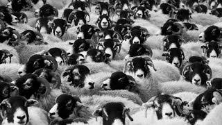Le Seigneur des moutons - Rohirrim Charge