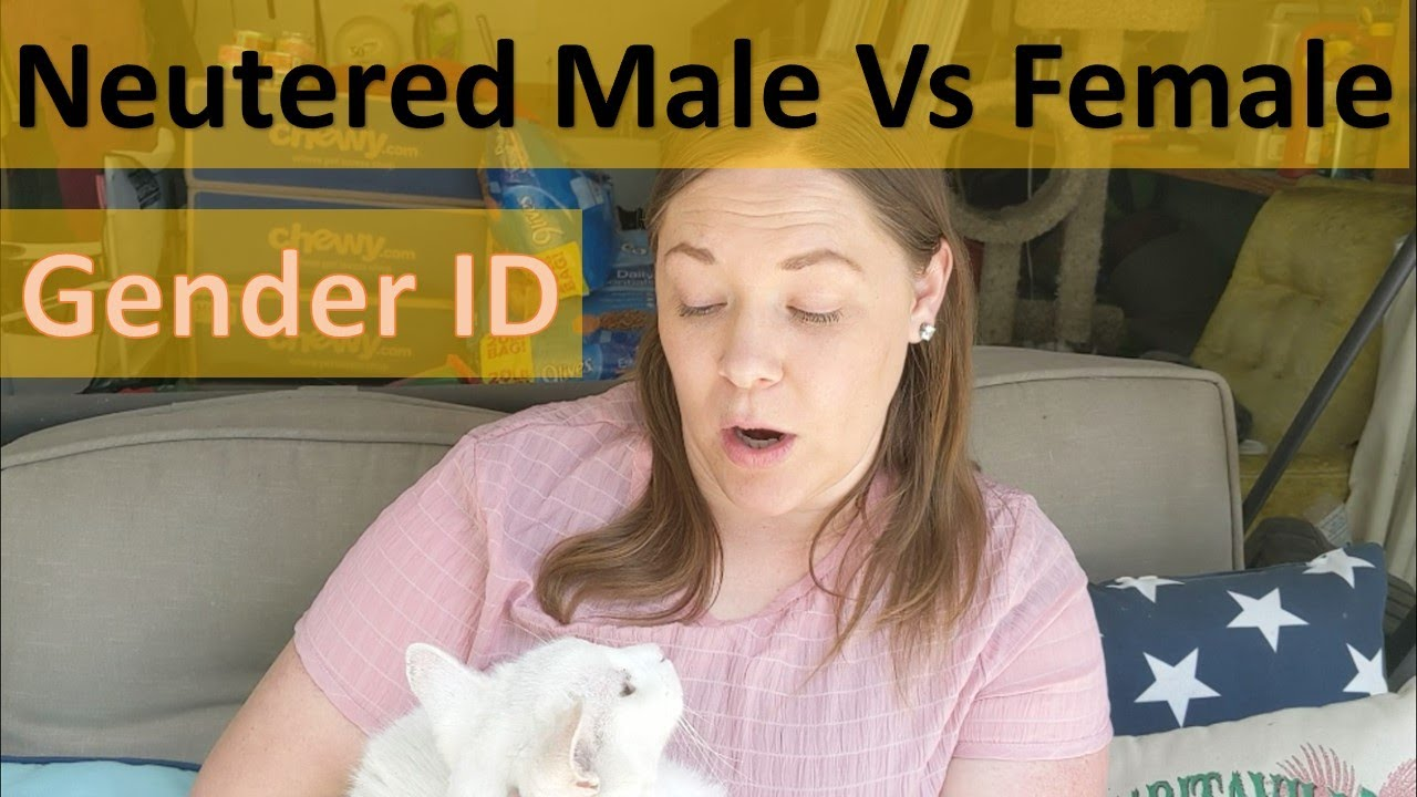 How To Tell Gender Of Neutered Male Vs Female Adult Cat Short Hair And Fluffy Youtube
