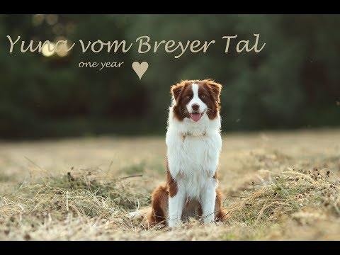 Australian Shepherd Yuna, one year ♥