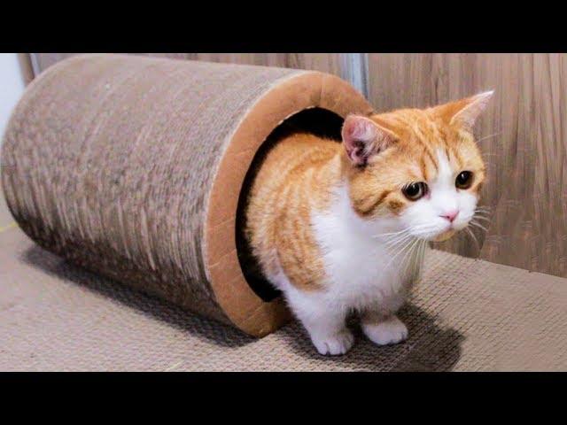 女主人浪费了几十个猫抓板-打造大型猫咪乐园-隔壁猫羡慕惨了