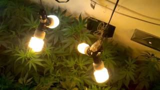 Cfl Closet Grow 800 Watt Veg Update # 3