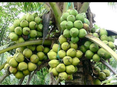 Coconut Plantation BD | ভিয়েতনামের খাটো জাতের নারিকেলগাছ বাংলাদেশে | WAPDA BD | Part 01