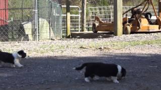 Cardigan Welsh Corgi Puppies On The Farm
