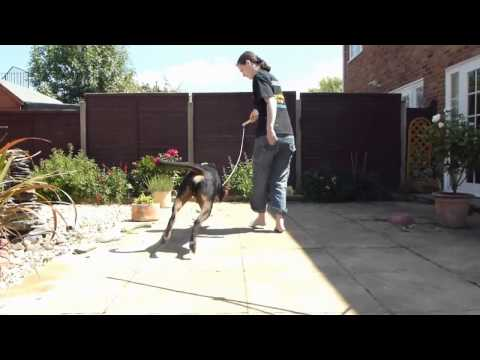 Exercise Ball - Rottweiler burning his excess energy and increasing play drive