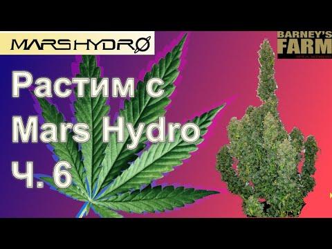 Растим с Mars Hydro. Часть 6 — 96г. без всякой химии (почти). Розыгрыш семян Barney's Farm.