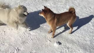 Собаки самоед и шиба-ину играют во дворе