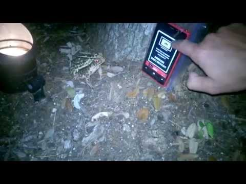 Frog tries to eat bugs from phone game