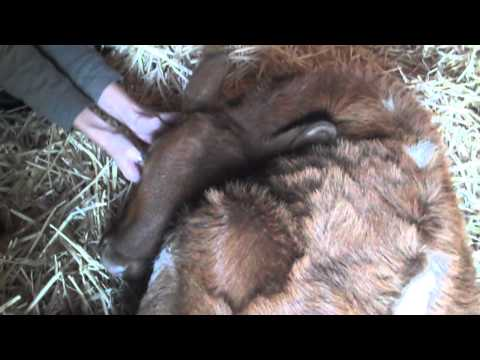 Woman Pets Brown Calf