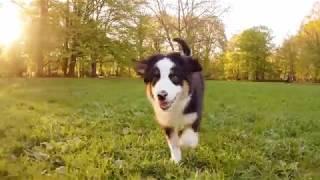 Щенок Австралийской овчарки в парке... неожиданно
