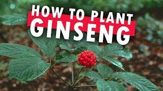 Planting Ginseng