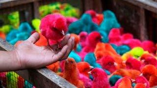 Pintan pollos para venderlos como si fueran Angry Birds