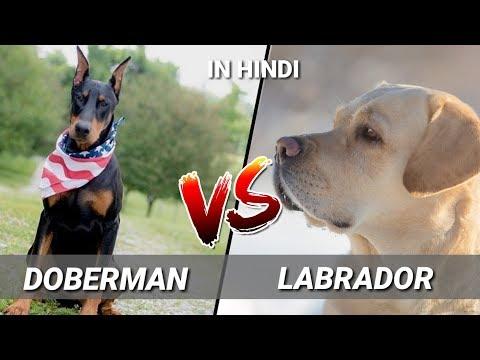 Doberman Pinscher Vs Labrador Retriever / IN HINDI / Dog vs Dog / DOBERMAN VS LABRADOR