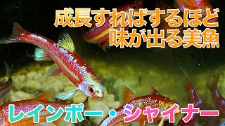 【熱帯魚・コイ】 レインボーシャイナー (Aqupedia)