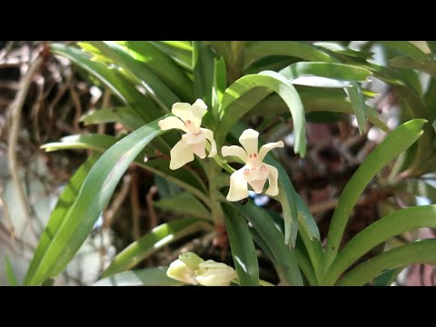 Lan Vanda uyên ương - Vanda pumila   Foci
