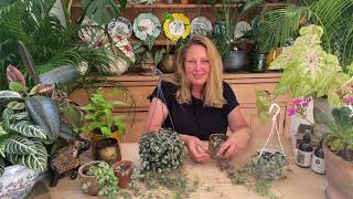 Ceropegia woodii or String of Hearts houseplant care tips from Happy Houseplants