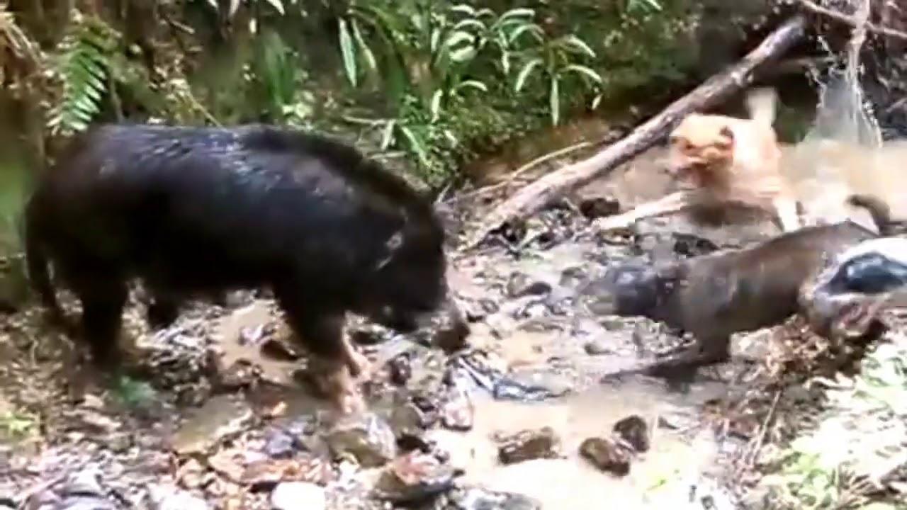 Babi Vs Anjing Pemburu Pertarungan Sengit Babi Hutan Dengan Anjing Pemburu Youtube