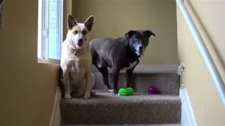 Нові іграшки у наших собакенов!