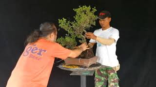 Bonsai Styling by Robert Steven on Pemphis