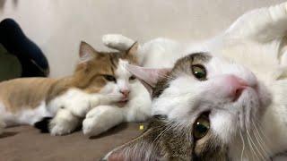 寝心地の良い枕を見つけた猫