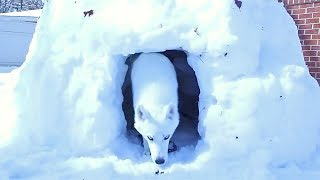 How to Make Igloo For Your Husky?