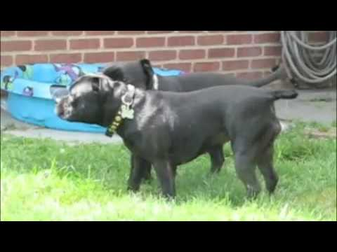 Staffordshire Bull Terriers playing