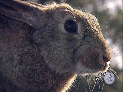 Calicivirus in Pet Rabbits