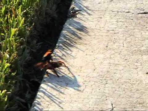 Tarantula Hawk Wasp Vs Tarantula