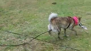 北海道犬 虎柄 なな虎.
