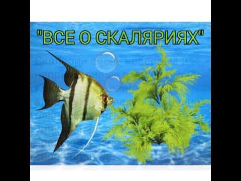 Вопрос: Каких рыб можно поселить к скаляриям?