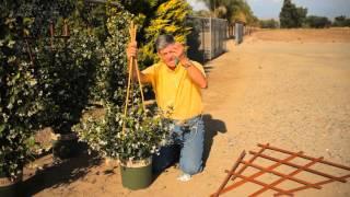 When to Stake Jasmine : Garden Savvy