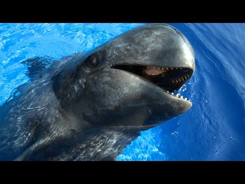 Sully the Pilot Whale (HD) | JONATHAN BIRD'S BLUE WORLD