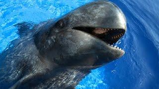 Sully the Pilot Whale (HD)   JONATHAN BIRD