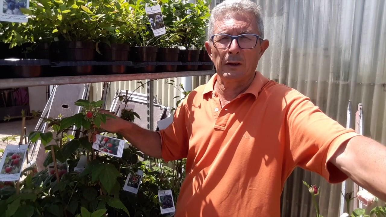 Coltivare Lamponi In Vaso come si coltiva il lampone (rubus idaeus) e sue caratteristiche
