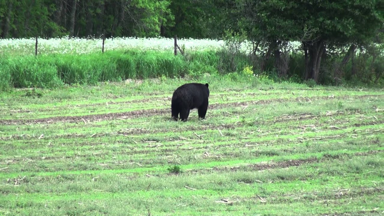 """Black bear right in our northwest WI """"back yard"""" - YouTube"""
