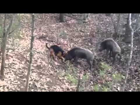 Hunting dog vs Wild boar