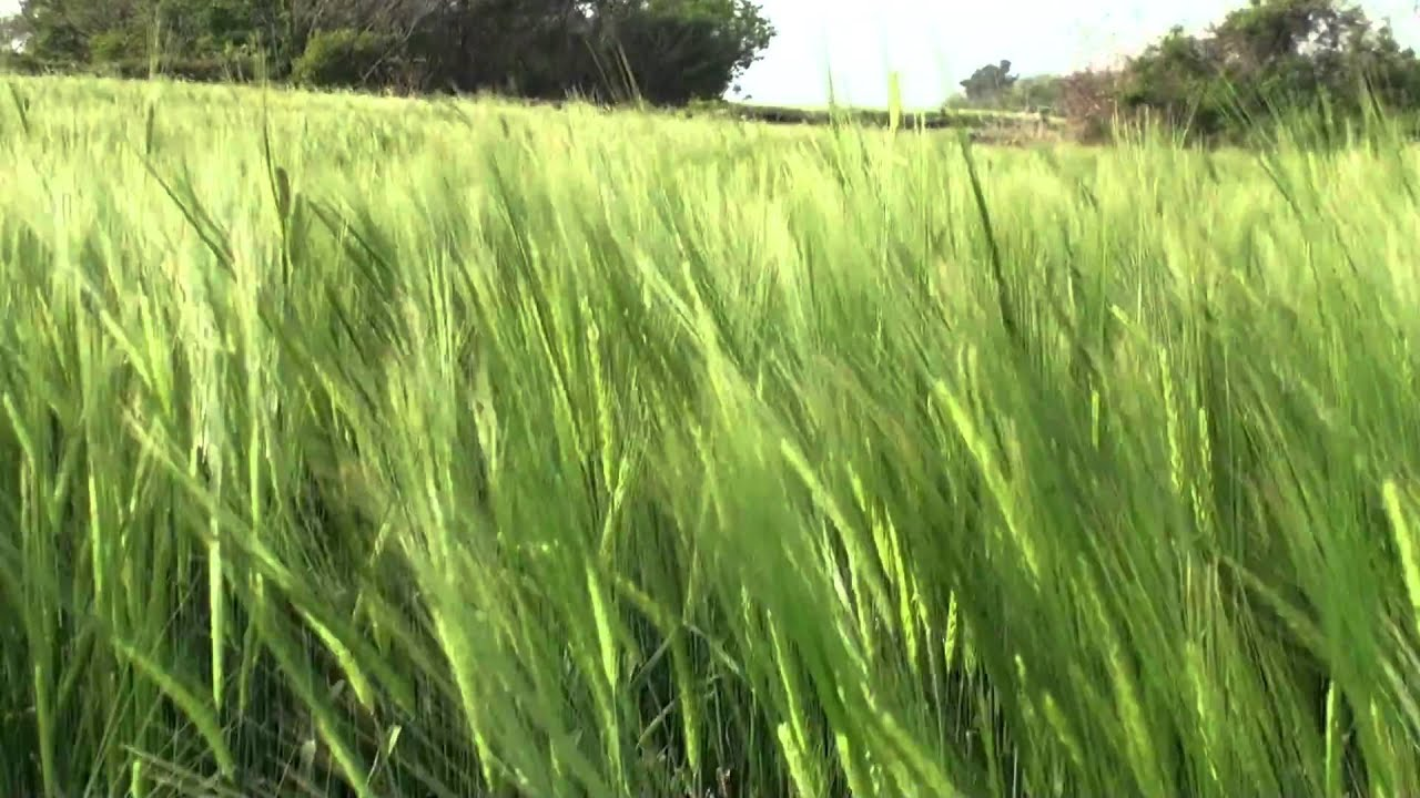 barley, wheat field, wheat,barley field,보리밭, 밀밭 동영상 3 ...