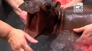 Baby Hippo Fiona - Episode 2 The Struggle - Cincinnati Zoo