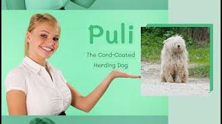 Puli   The Cord Coated Herding Dog