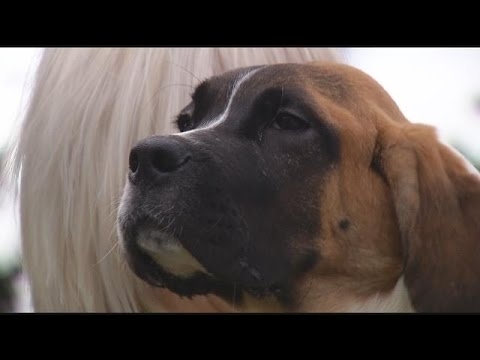 Billings veterinarians recover foot-long stick from puppy's throat, save dog's life