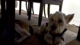 Ciccio.... Il Cane Più Intelligente Di Marco Marzocca...ciccio A Smart Westie Marco Marzocca's Dog