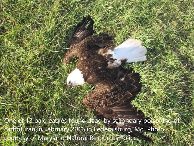 State Law Could Help in Bald Eagle Poisoning Cases