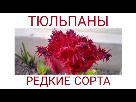 Тюльпаны, редкие сорта