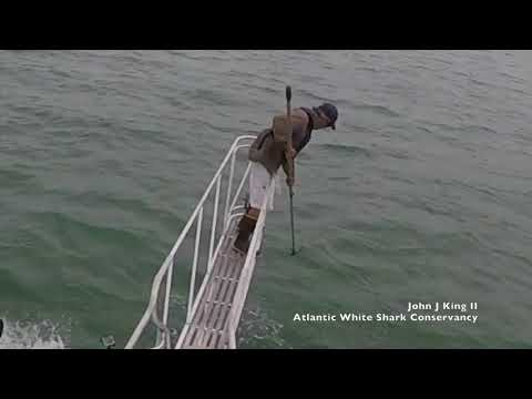 Catfish - Great White Shark jumps out of the water like JAWS!