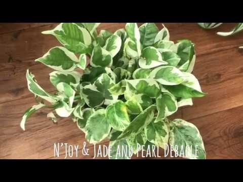 N'Joy Pothos & Jade and Pearl Pothos Debacle