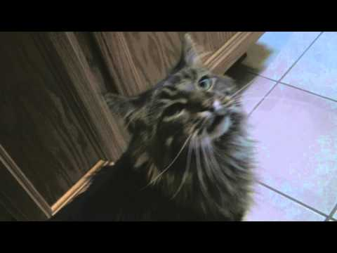 Maine Coon Cat Wants His Dinner NOW!